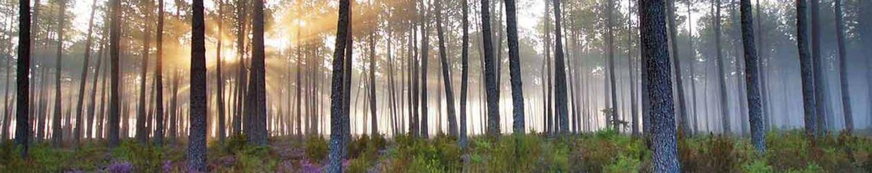 Forêt des Landes au levé du soleil